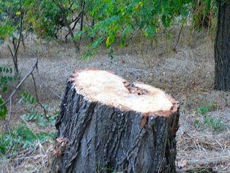 Незаконна вирубка лісосмуг в Усатівський громаді. Із депутатів міськради у лісоруби ?
